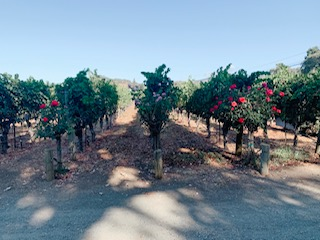 You are currently viewing Why are there Roses at the end of each row of Grapevines?